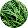 italianryegrass